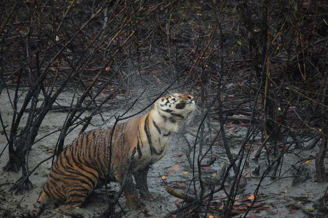 Sundarban Royal Bengal Tiger
