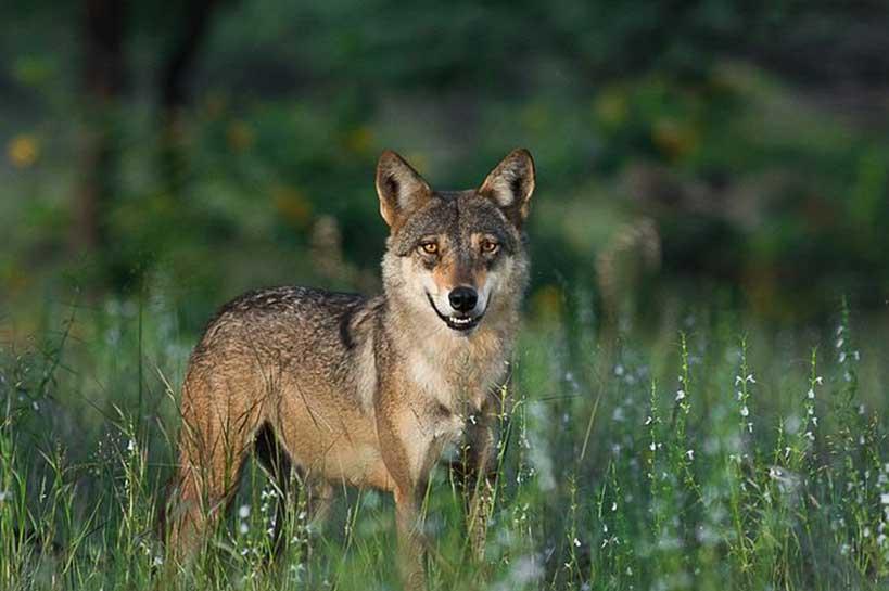 Sundarban Wolf