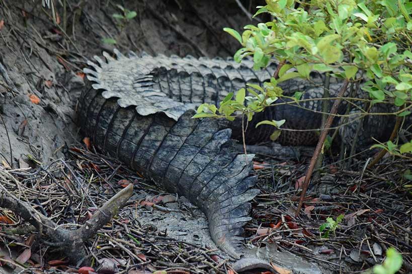 Sundarban Crocodiles